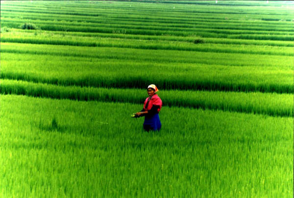 Rice Fields, Shaping